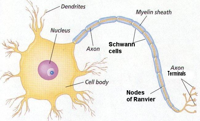basicneuron.jpg
